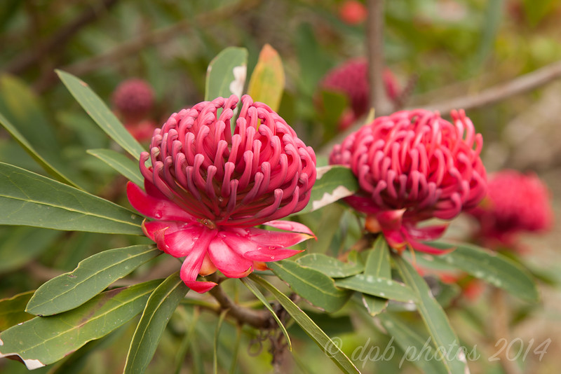 Red Succession (sometimes called a Pincushion)