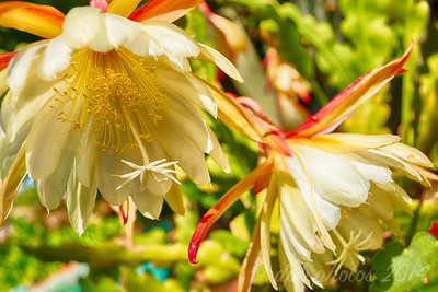 """""""Queen of the Night"""" Orchid Cactus Flower"""
