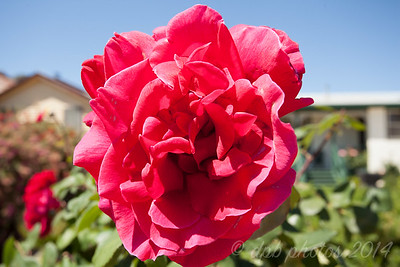 Large Traditional Red Rose