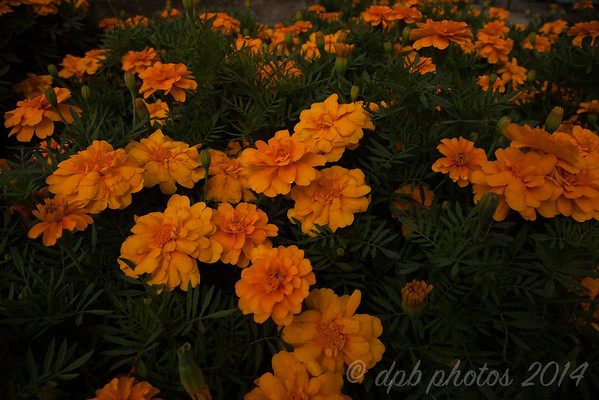 Marigold ~ dark background