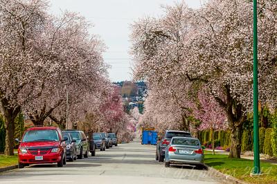 Japanese Cherry Trees