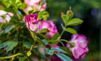 Burgundy Ice Berg Rose