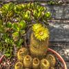 Mammillaria (succulent)