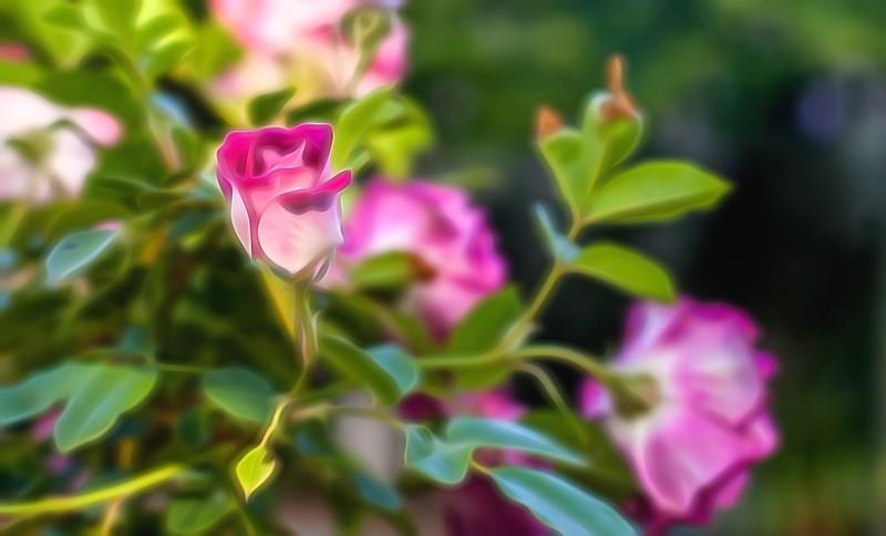 Burgundy Ice Berg Rose ~ glow effect