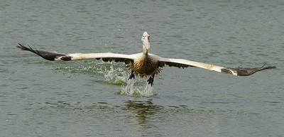 Pelican Takeoff