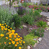 California Poppies in the Waterwise Garden
