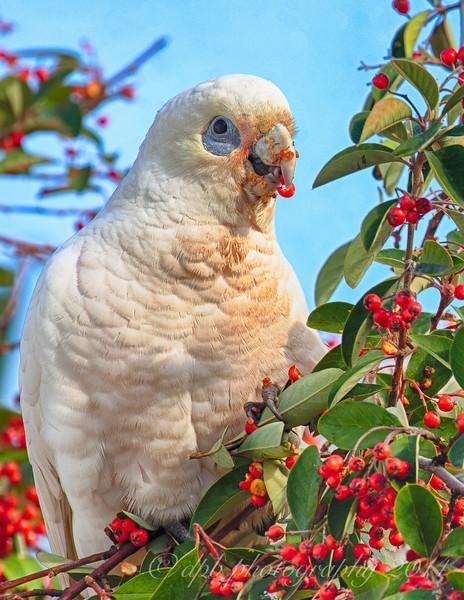 Feeding White Cockatoo