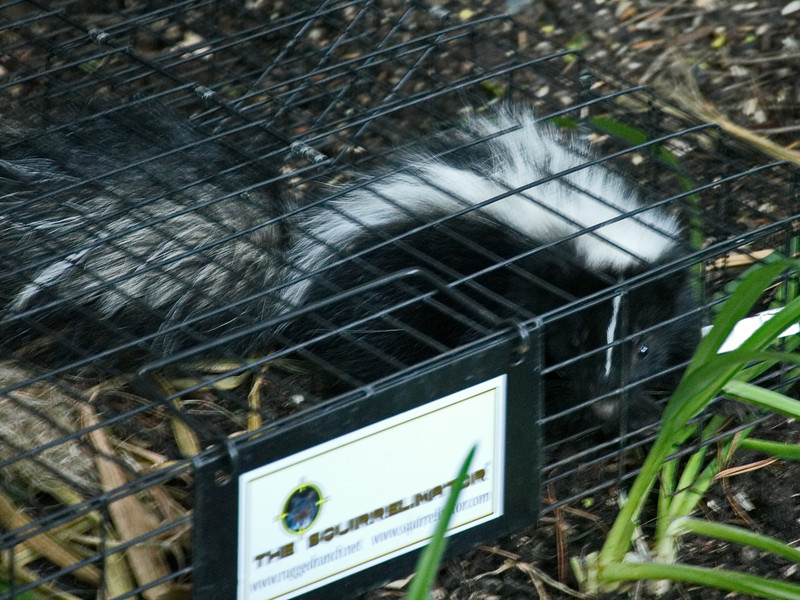 Baby skunk in our squirrel traip.