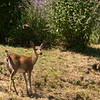 Blacktail deer in our front yard