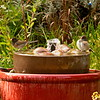 Juncos in the fountain