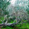 Fallen Gum Tree