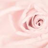 20140628 Week-Old Rose