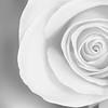 20140622 High Key Rose