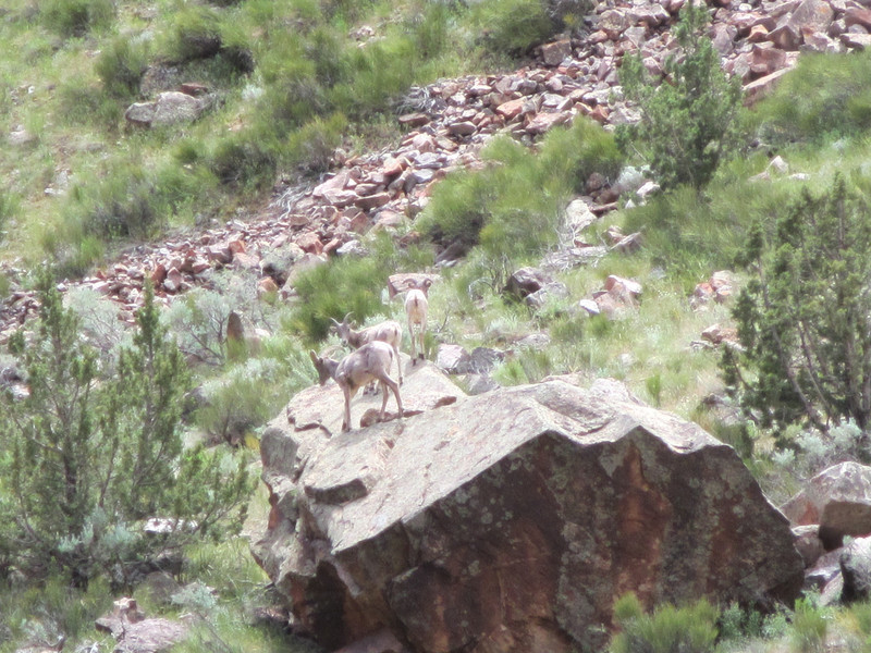 Baby Lil horn sheep