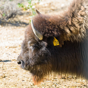 William S. Hart Park American Bison.  1/1/2014