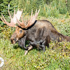 A moose who witnessed the killing of a fellow moose finally leaves the area to go back into the forest.
