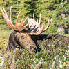 They eye seems to tell the story of this upset moose who witnessed the killing of one of his friends just moments earlier.