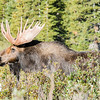 Distressed moose gazes in the direction of the body of his friend who was killed by a hunter's arrow a few moments earlier.