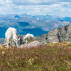 A nanny mountain goat and her kid feed on vegetation and wildflowers in alpine meadow high up on the slopes of Mt. Evans.