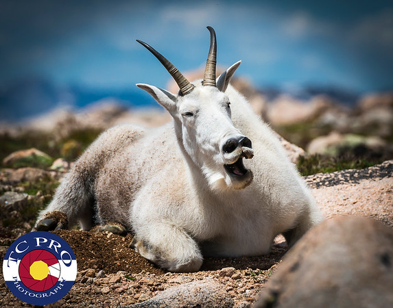 """A mountain goat belts out her version of """"I've Gotta Be Me!"""" on the high slopes of Mt. Evans."""