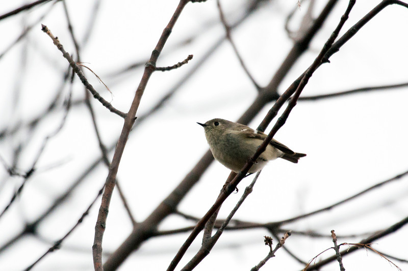 4-23-14 Ruby-Crowned Kinglet