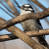 3-30-14 Downy Woodpecker 1