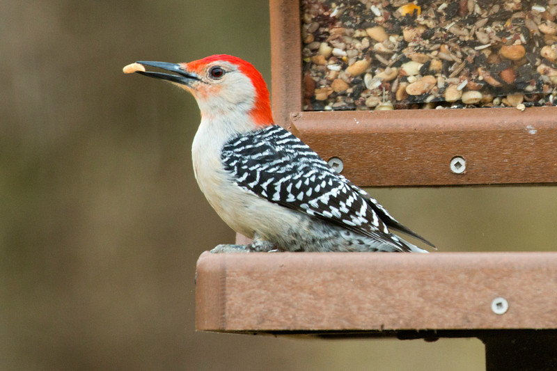 4-20-14 Red-bellied Woodpecker 2