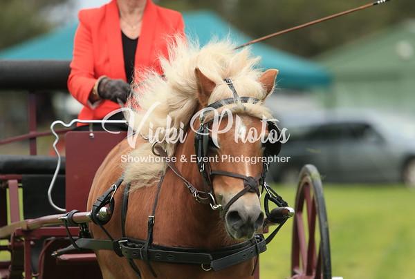 Shetland Pony Enthusiasts WA  -  Winter Woollies Show - 25.5.2014