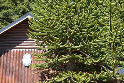 Monkey Puzzle tree. Argentina.