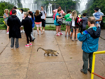 Tourist ignore Coatimundi. Iguazú Falls seen from Brazil.