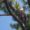 Sampson-Mark-2014-Paddle-Eagle-In-Tree