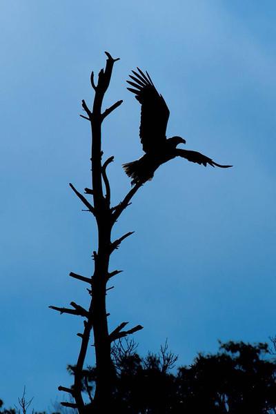 mosher-corry-2014-paddle-eagle-takeoff