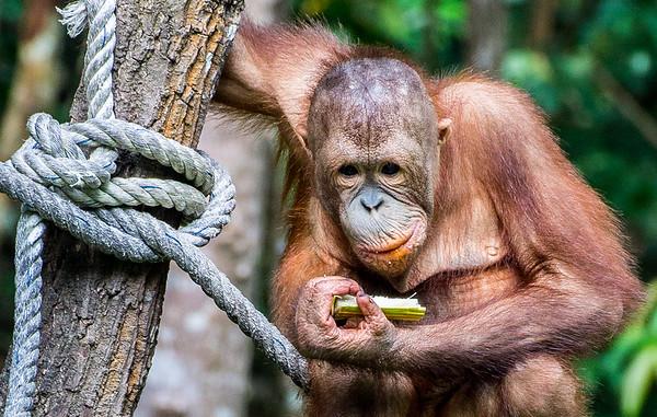 2014 Borneo - Sabah - Orang Utang
