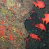 Hawaiian Bigeye Fish. Endemic.