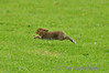 This Hare decided he wasn't a fan of EI-SAR and made a run for safer ground. Sun 03.08.14
