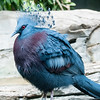 Exotic Bird (Goura Victoria)