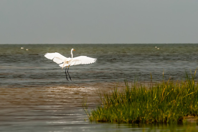 white egret flying overpamlico sound outer banks nc