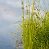 Flowering reed plants near a lake.