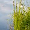 Flowering reed plants near a lake.