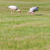 white ibis flock of birds at cape hatteras national seashore