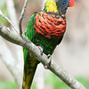 rainbow lorikeet parrot on branch