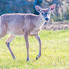 white tail deer bambi in the wild