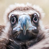 Face portrait of a Cinereous Vulture (Aegypius monachus) is also known as the Black Vulture