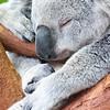 adorable koala bear taking a nap sleeping