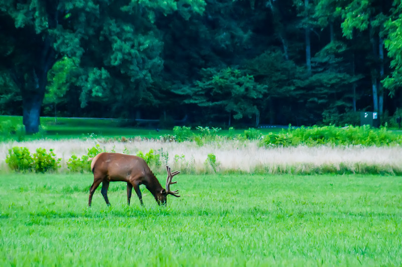 elk resting on a meadow in great smoky mountains
