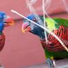 Rainbow Lorikeet parrot Trichoglossus haematodus