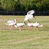 white ibis flock of birds