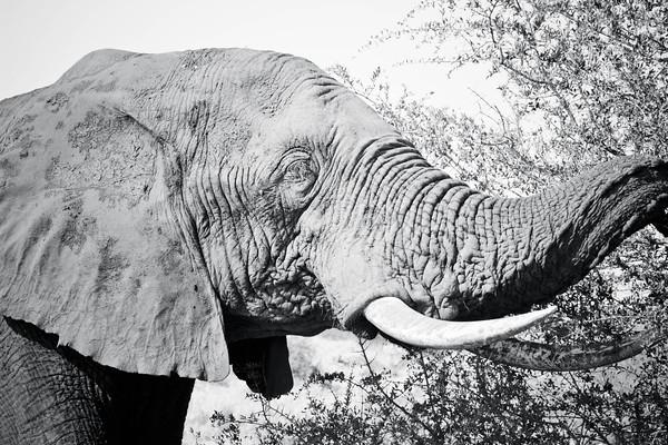 Muddy Giant; Kruger National Park 2014