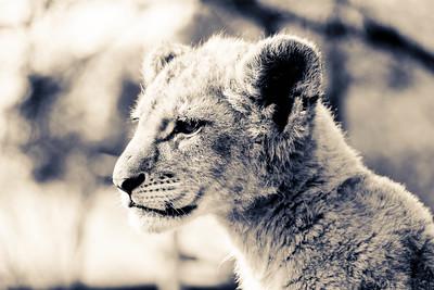 Cub; Lion Park South Africa 2014