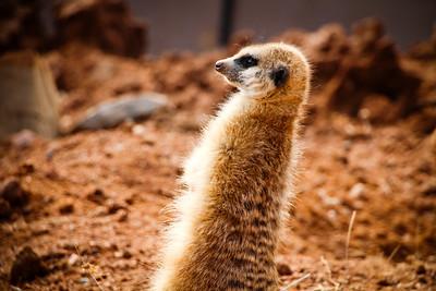 Meerkat; Lion Park South Africa 2014